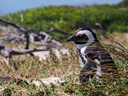 spheniscus demersus: Jackass penguin (Spheniscus demersus) at Simons Town coast in South Africa