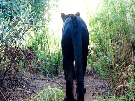rear view: Black panther rear view