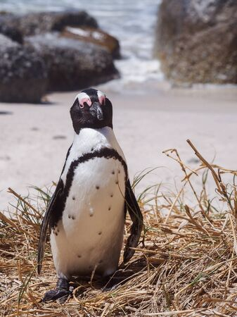 spheniscus demersus: Jackass penguin (Spheniscus demersus) standing on the shore in South Africa