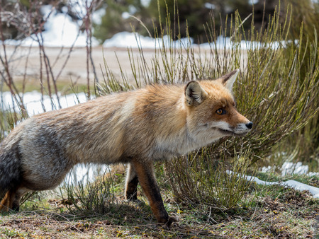 poking: Red fox (Vulpes vulpes) showing Stock Photo