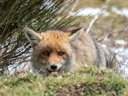 crouched: Cute and playful red fox (Vulpes vulpes) hidden and crouched down behind the grass Stock Photo