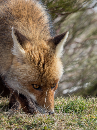 crouch: Cute red fox (Vulpes vulpes) with awesome eyes tracking and sniffing Stock Photo