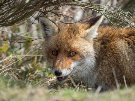 crouched: Cute red fox (Vulpes vulpes) hidden and crouched down