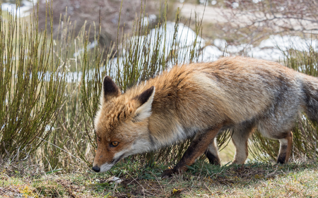 sniffing: Cute red fox (Vulpes vulpes) crouching down and sniffing