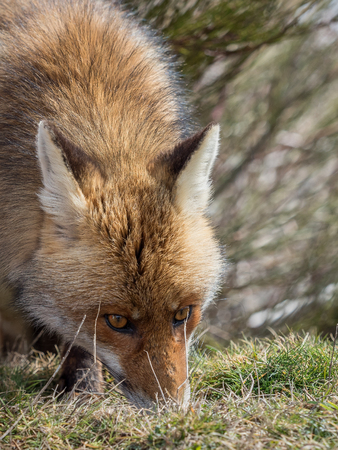 sniffing: Cute red fox (Vulpes vulpes) with awesome eyes tracking and sniffing Stock Photo