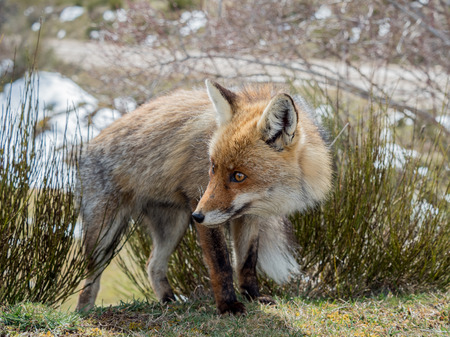 furry: Cute and furry red fox (Vulpes vulpes) with big eyes