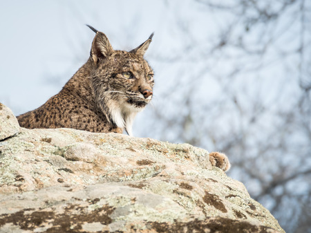 iberian: Iberian lynx ( Lynx pardinus ) lying down on a rock in Spain