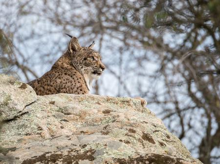 lince: lince ib�rico (Lynx pardinus) est� acostado sobre una roca en Espa�a Foto de archivo