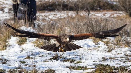 falconry: Harriss hawk flying near ground in a falconry show