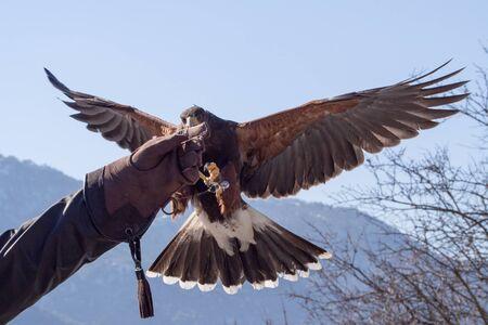 falconry: Harris hawk (Parabuteo unicinctus) landing in an falconry glove in an exhibition