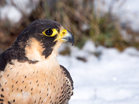 falco peregrinus: Portrait of a Falconrys peregrine falcon (Falco peregrinus)  in the snow Stock Photo