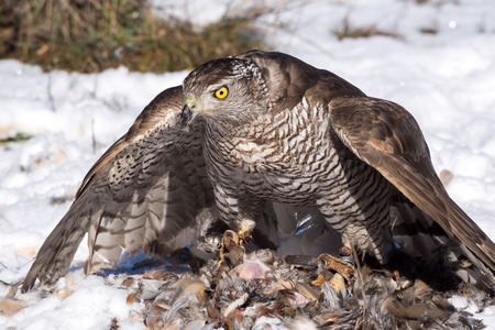bird eating raptors: Northern goshawk (Accipiter gentilis) with open wings eating a hunted partridge on a snowy ground Stock Photo