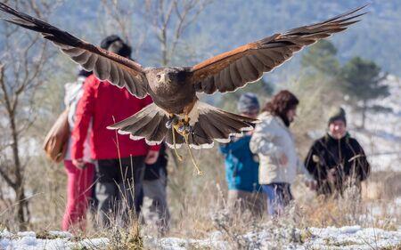 falconry: Harriss hawk (Parabuteo unicinctus) flying near ground in a falconry show