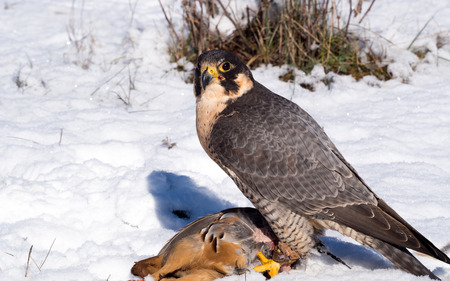 falco peregrinus: Peregrine falcon (Falco peregrinus) with a hunted partridge on a snowy ground in a falconry meeting