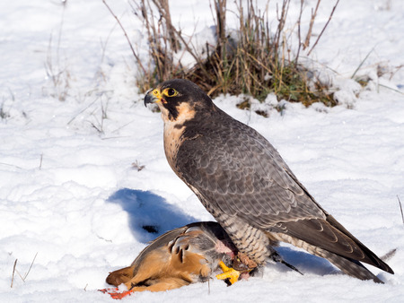 kuropatwa: Peregrine falcon (Falco peregrinus) on a snowy ground in a falconry meeting after hunting a partridge