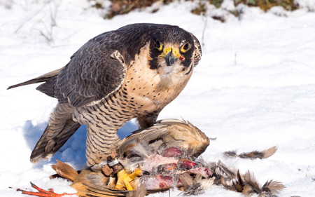 kuropatwa: Peregrine falcon (Falco peregrinus) eating a hunted partridge on a snowy ground in a falconry meeting