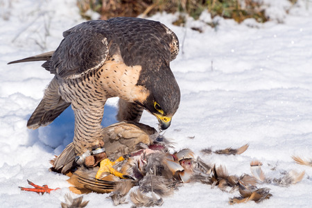 falco peregrinus: Peregrine falcon (Falco peregrinus) eating a hunted partridge on a snowy ground in a falconry meeting