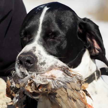 kuropatwa: Pointer psa myśliwskiego partnera gryzienie i trzymając się jej polować kuropatwy Zdjęcie Seryjne