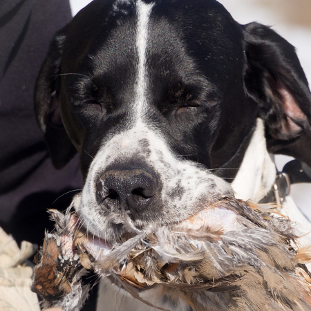 pointer dog: Pointer dog hunting partner biting and holding up its hunted partridge