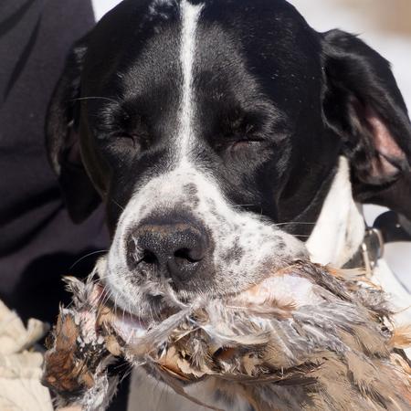 kuropatwa: Pointer dog hunting partner biting and holding up its hunted partridge