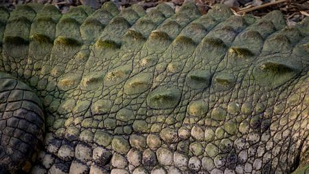 crocodylus: Armor and skin scales of a big crocodile (crocodylus)