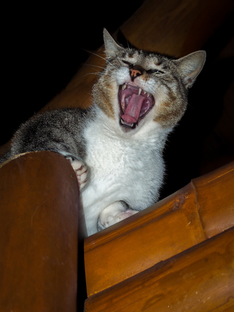 meowing: Fearless cat meowing on the roof with open mouth and showing its tongue Stock Photo