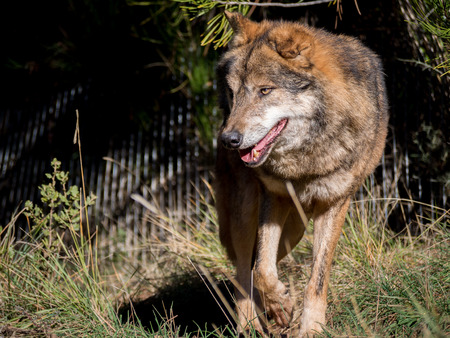 iberian: Male iberian wolf (Canis lupus signatus) moving around a farm