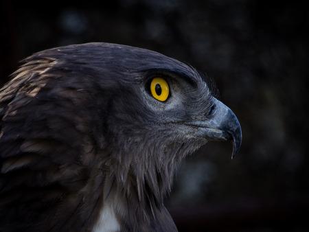 raptor: Portrait of the raptor short-toed snake eagle (Circaetus gallicus)