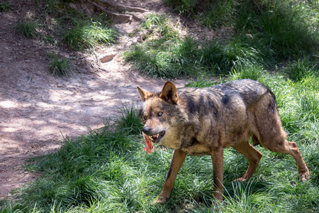 canis: Adult male iberian wolf  (Canis lupus signatus)