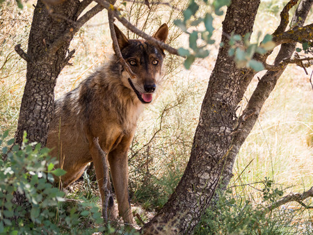 pursued: Iberian wolf ( Canis lupus signatus ) between trees in the forest in summer season (Spain)
