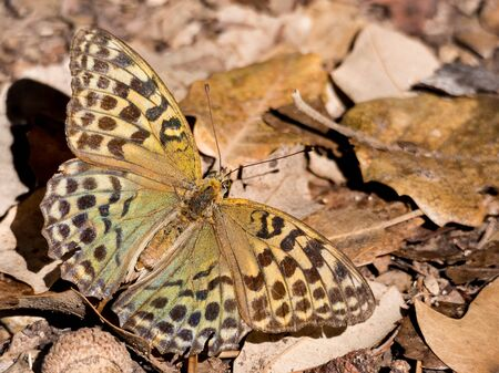 feelers: Butterfly Argynnis pandora over leaves on the ground in autumn season Stock Photo
