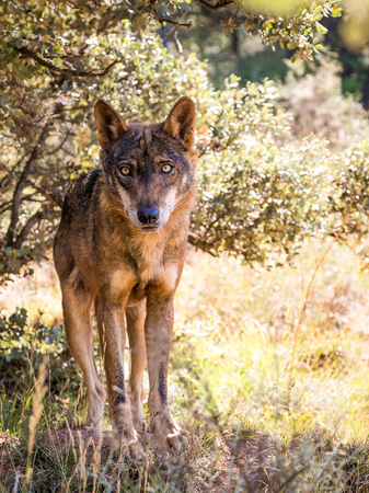 pursued: Iberian wolf with beautiful eyes in  a sunny day in autumn Stock Photo