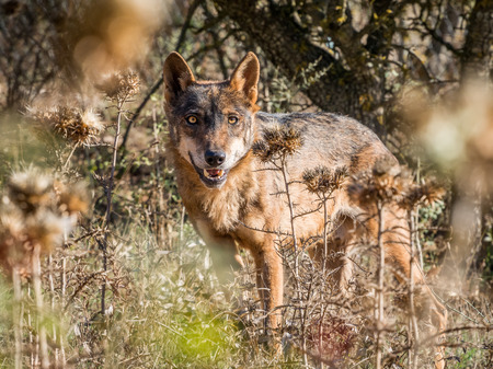 pursued: Iberian wolf with beautiful eyes in the forest in summer