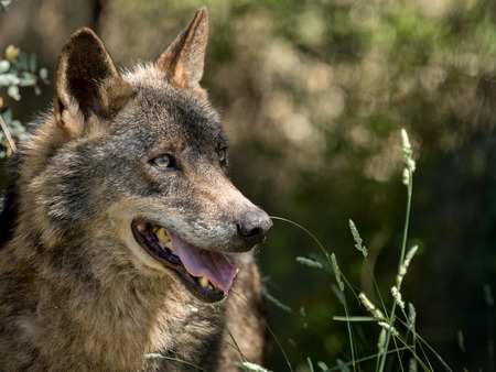 pursued: Wolf portrait  (Canis lupus signatus) in the bushes in summer in Spain