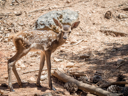 desertification: Baby deer (Cervus elaphus) in summer in a dry forest in a very hot and sunny day in Spain Stock Photo