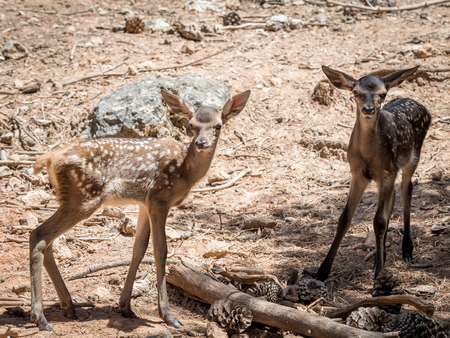 Two baby deers (Cervus elaphus) friends in summer in a dry forest in a hot and sunny day in Spain