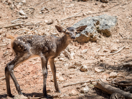 Baby deer (Cervus elaphus) in summer in a dry forest in a very hot and sunny day in Spain Stock Photo