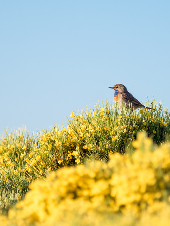 Bluethroat bird Luscinia svecica in colorful spring in Sierra de Gredos, Spain. Ornithology | birdwatching. Stock Photo