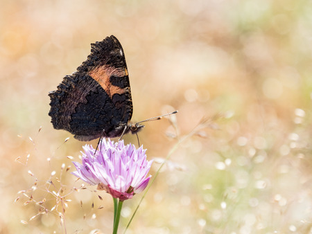 Colorful butterfly small tortoiseshell (Aglais urticae) on a flower in summer with golden background, in Sierra de Gredos, Avila, Spain