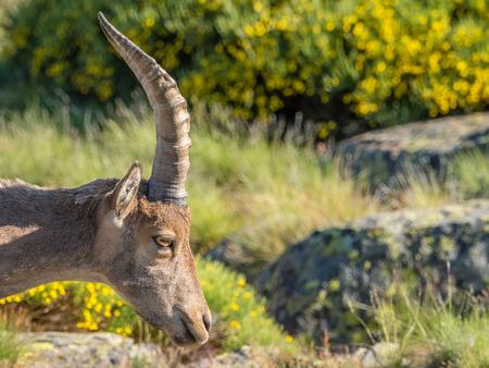 capra: Alpine ibex (Capra pyrenaica) on the mountain in a colorful spring in Sierra de Gredos mountain range (Spain)