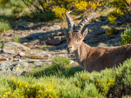 Alpine ibex (Capra pyrenaica) on the mountain in a colorful spring in Sierra de Gredos mountain range (Spain)