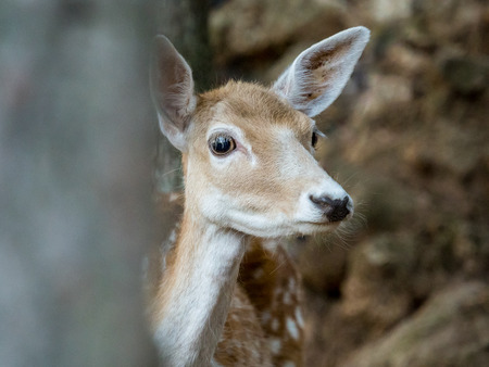 cervus: Young fallow deer Cervus dama behind a tree in the forest Stock Photo