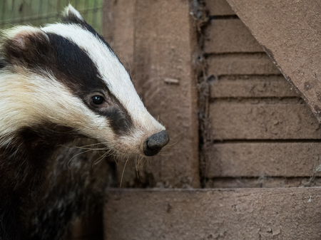 intruder: Nosy badger Meles meles in a country house. Snooping  intruder concept. Stock Photo