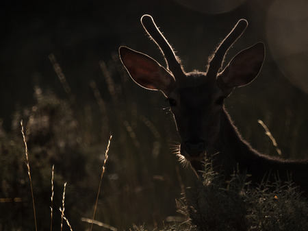 cervus: Backlit silhouette of a red deer Cervus elaphus at sunrise. Artistic picture