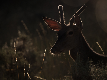 cervus: Backlit profile of a red deer Cervus elaphus at sunrise. Artistic picture