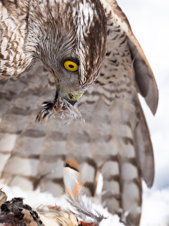 Northern goshawk (Accipiter gentilis) hunting a partridge on the snow in winter in a falconry exhibition