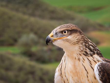 Ferruginous hawk raptor close up portrait with yellow eyes Stock Photo