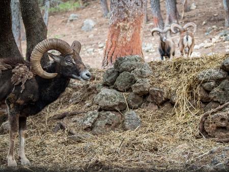mouflon: Iberian mouflon (Ovis orientalis musimon) with big horns in the forest