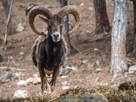 Iberian mouflon (Ovis orientalis musimon) with big horns in the forest