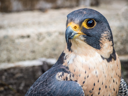 Peregrine Falcon close up portrait (Falco peregrinus)